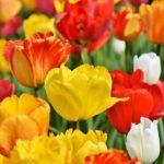 Canadian Ottawa Tulip Festival